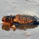 Chiusa la spiaggia di Antalya per salvaguardare le tartarughe