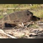 Evento unico nella storia: tartaruga depone sull'isola di Stromboli
