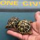 Abbandonano tre tartarughe terrestri in un cassonetto dei rifiuti