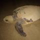 Due tartarughe marine depongono a Linosa e Marina d'Ispica