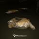 Salvate dodici tartarughe marine da una casa in Costa Rica