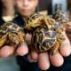 L'ONU rifiuta l'upgrade di protezione per le tartarughe stellate