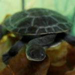 In Indonesia ritornano le tartarughe dal collo di serpente di Rote Island