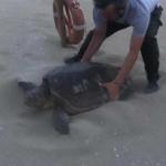 Rimettono tartaruga in mare credendola arenata ma stava per deporre