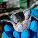 Muore dopo pochi giorni la tartaruga verde a due teste