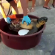 Tartaruga ferita ad una pinna recuperata da un passante