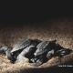 Quasi mille tartarughine già nate sulle spiagge italiane