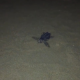 Decine di tartarughe nascono a Catania e nel ragusano