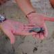 Corsica: prima volta che si assiste alla nascita di tartarughe marine
