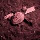 Schiude il nido deposto a Stromboli: nate le prime sei tartarughe