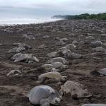 Migliaia di tartarughe depongono simultaneamente in Costa Rica
