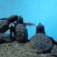 Sbucano decine di tartarughe su una spiaggia della costiera sorrentina