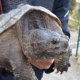 Tartaruga azzannatrice di 5 Kg trovata in un lago del genovano