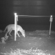 Eutanasia per i coyote che predano le uova delle tartarughe marine