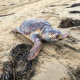 Morte sedici tartarughe in tre giorni sulle coste del nord Adriatico