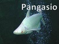 Pangasio