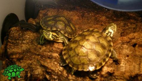 tartarughe e sughero