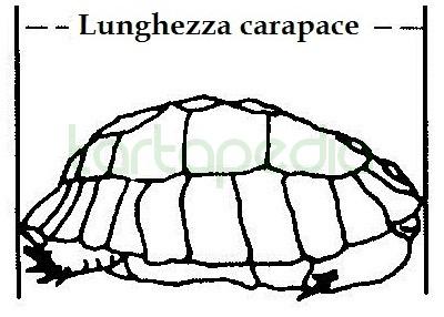 Lunghezza carapace