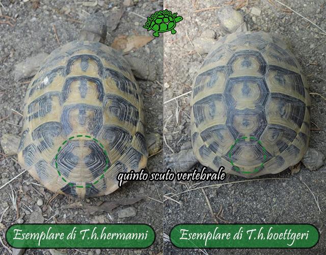 Testudo hermanni hermanni e testudo hermanni boettgeri for Nomi per tartarughe femmine