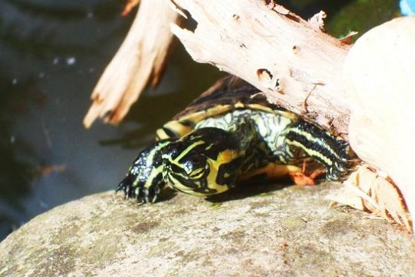 Debora tartaruga basking