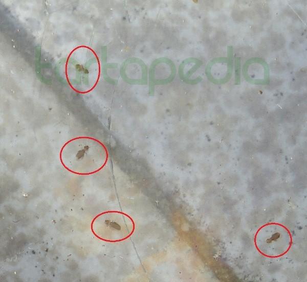 Parassiti gamberetti essiccati tartapedia