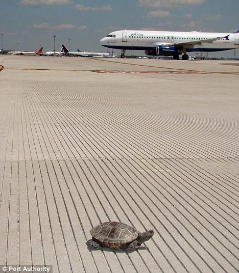 Malaclemys aeroporto jfk