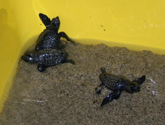 Turisti salvano tartarughe marine appena nate a strongoli for Luci per tartarughe