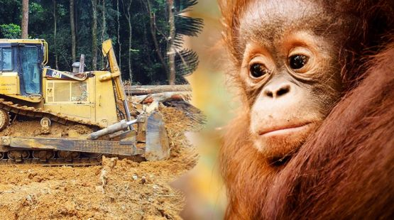 borneo petizione olio di palma