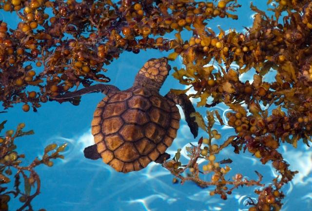 baby tartaruga marina alghe