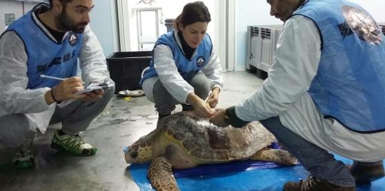 Morta una delle tre tartarughe marine pescate a pescara for Vasche per tartarughe marine