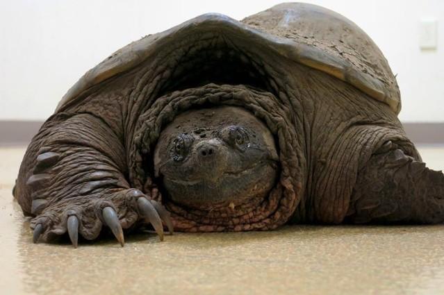 Esami di controllo per la tartaruga azzannatrice deforme for Lago tartarughe