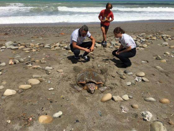 Deposizione di caretta sulla spiaggia di ponte naso me for Deposizione uova tartarughe terrestri