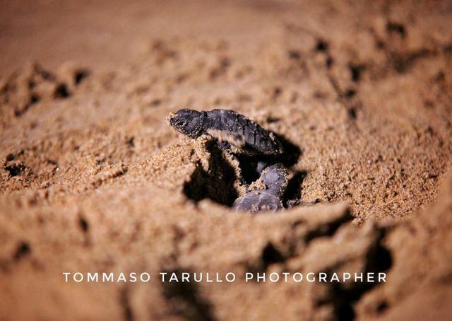 Il nido di acciaroli sa ha portato alla luce 76 for Luce per tartarughe