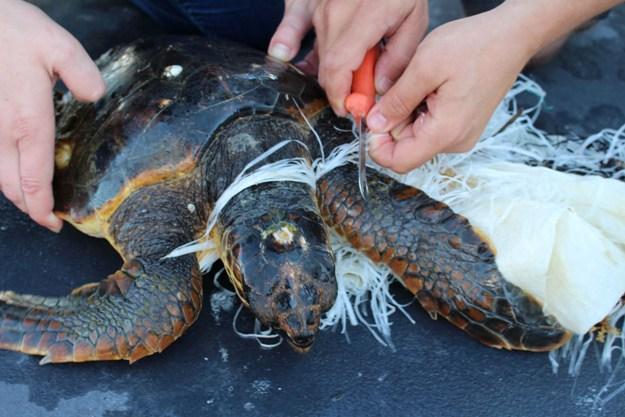 Volontari wwf recuperano tartaruga avvolta dalla plastica for Vasche di plastica per tartarughe
