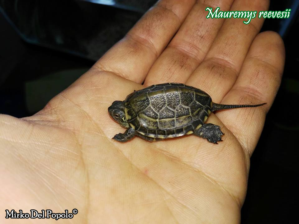 Mauremys chinemys reevesii scheda riassuntiva tartapedia for Tartarughe marine letargo