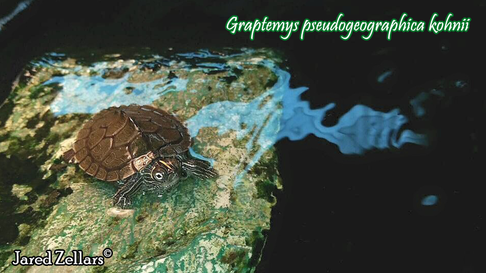 Graptemys pseudogeographica scheda riassuntiva tartapedia for Tartarughe marine letargo