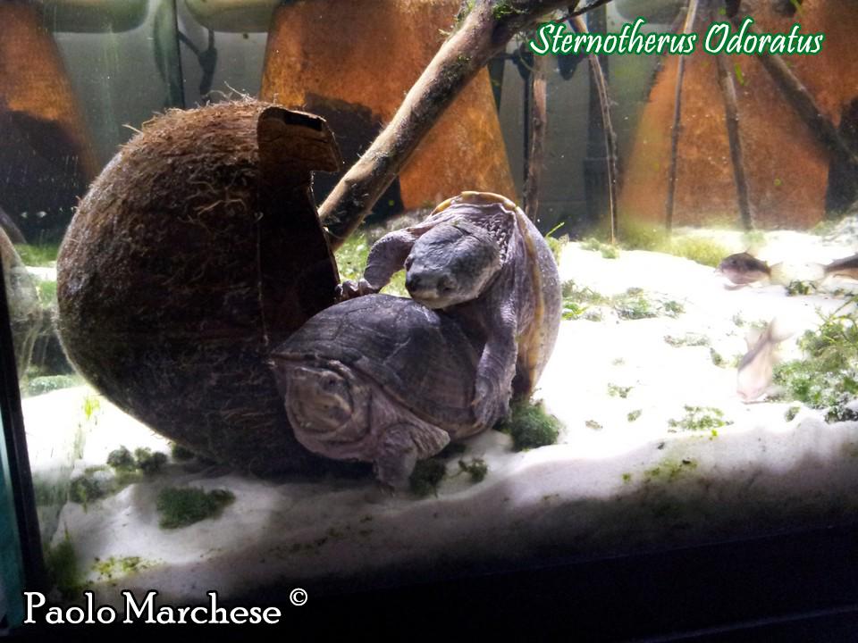 Sternotherus scheda riassuntiva tartapedia for Tartarughe marine letargo
