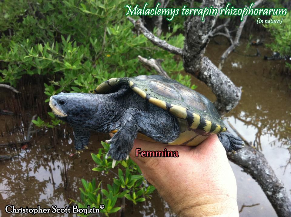 Malaclemys terrapin scheda riassuntiva tartapedia for Tartarughe marine letargo