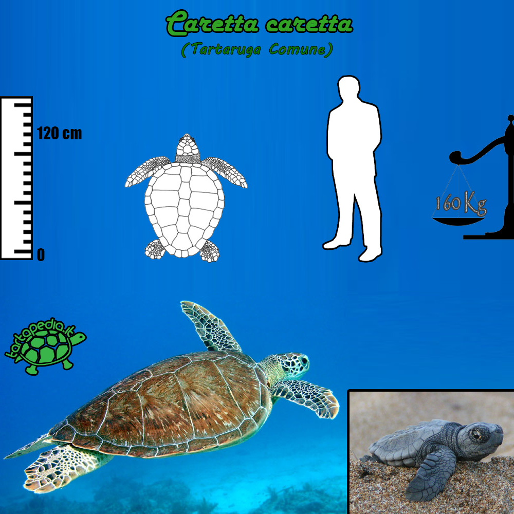 Le sette specie di tartaruga marina tartapedia for Tartarughe razze