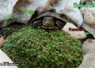 002-emys-orbicularis-sabrina-dermiliis