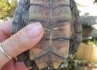 008-graptemys-pseudogeographica-pseudogeographica-sabrina-dermiliis
