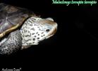 008-malaclemys-terrapin-terrapin-ambroso-tano