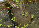 009-emys-orbicularis-esotikae-world