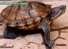 010-trachemys-scripta-elegans-noemi-sansone