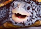 013-malaclemys-terrapin-centrata-warradjan-turtle