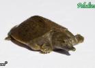014-pelodiscus-sinensis-fabio-maione