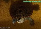 015-malaclemys-terrapin-pileata-warradjan-turtle