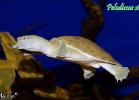 015-pelodiscus-sinensis-fabio-maione