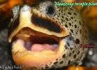 018-malaclemys-terrapin-pileata-warradjan-turtle