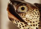 022-malaclemys-terrapin-terrapin-warradjan-turtle